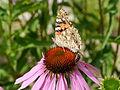 Honey bee and painted lady on Echinacea purpurea-2.JPG