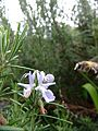 Honey bee approaching a rosemary flower, Sandy, Bedfordshire (7070781307).jpg