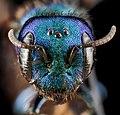 Hoplitis fulgida, female, face 2012-06-25-15.22.53 ZS PMax (11572467635).jpg