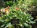 Hosta undulata2.jpg