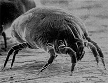 dust mite close up