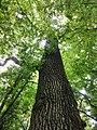 Hrast lužnjak u prašumi Prašnik.jpg
