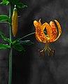 Humboldt Lily (Lilium humboldtii) (3105721570).jpg