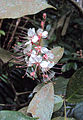 Humboldtia brunonis Wall. 02.JPG