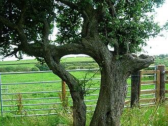 Inosculation - Husband and Wife blackthorn. (Prunus spinosa) at Lynncraigs farm, Dalry, North Ayrshire, Scotland.