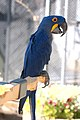 Hyacinthine macaw at Cougar Mountain Zoological Park.jpg