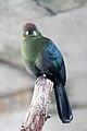 Hybrid tauraco -Bird Kingdom, Niagara Falls, Canada-8a.jpg