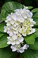 Hydrangea flowers at Guangzhou Zoo.jpg