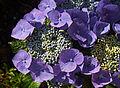 Hydrangea macrophylla 'Blaumeise' A.jpg