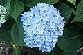 Hydrangea macrophylla 'Endless Summer' IMG 0203.jpg