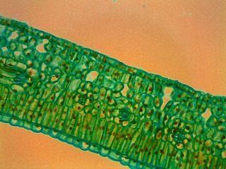 Mikroskopický záber na prierez listu