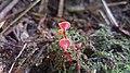 Hygrocybe aphylla Læssøe & Boertm 972607.jpg