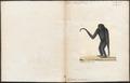 Hylobates syndactylus - 1700-1880 - Print - Iconographia Zoologica - Special Collections University of Amsterdam - UBA01 IZ19800092.tif