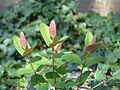 Hypericum calycinum (2944478154).jpg