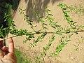 Hypericum perforatum branch5.jpg