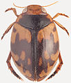 Hyphydrus pictus HabitusDors.jpg