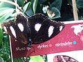 Hypolimnas missipus, Bornholms Sommerfuglepark 41.jpg