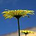 IMG 6236-1-Doronicum cordifolium.jpg