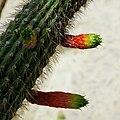 IMG 8199-1-Cleistocactus smaragdiflorus.jpg