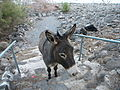 ISRAEL, Capernaum, Greek Church; 16-1252-103 (donkey).JPG