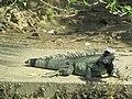 Iguana - panoramio (5).jpg
