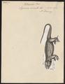 Iguana cornuta - 1700-1880 - Print - Iconographia Zoologica - Special Collections University of Amsterdam - UBA01 IZ12800063.tif