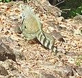 Iguana iguana (Iguane vert).jpg