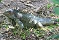 Iguana iguana 21zz.jpg