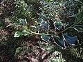 Ilex aquifolium 'Argentea Marginata' (Aquifoliaceae) leaves.jpg