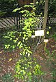 Ilex asprella - Hong Kong Botanical Garden - IMG 9570.jpg