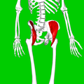 Iliacus muscle07.png
