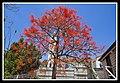 Illawarra Flame Tree Bowen Hills-5 (6317332794).jpg