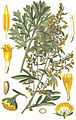 Illustration Artemisia absinthium0 clean.jpg