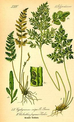 Illustration Cryptogramma crispa0.jpg