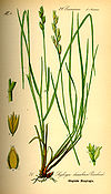 Illustration Danthonia decumbens0
