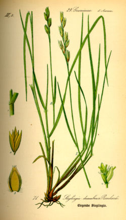 Illustration Danthonia decumbens0.jpg