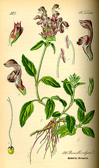 Illustration Prunella vulgaris0.jpg