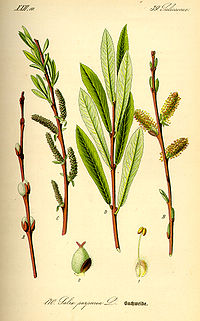 Illustration Salix purpurea0