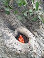 India - Delhi - 037 - Hanuman statue tucked in a tree knot (2146842302).jpg