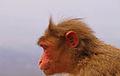 Indian Monkey.JPG