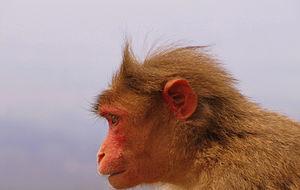 Monkey - Rhesus macaques