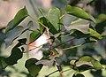 Indian Tulip Tree (Thespesia populnea) leaves in Kolkata W IMG 3530.jpg
