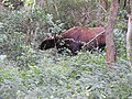 Indian gaur-1-mundanthurai-tirunelveli-India.jpg