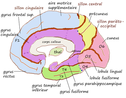 Infero interne gyrus.png
