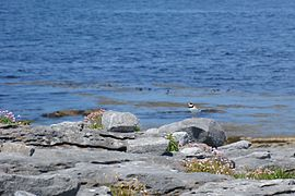 Inisheer bird (2).jpg