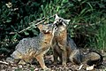 Island fox. Photo courtesy of Chuck Graham. (24544657790).jpg