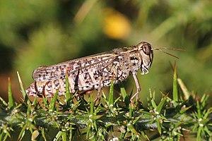 Italian locust (Calliptamus italicus) female.jpg