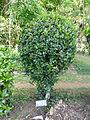 Ixora coccinea-Jardin botanique de Kandy.jpg