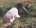 Jabiru mycteria, a Jabiru Stork - Flickr - Dick Culbert.jpg