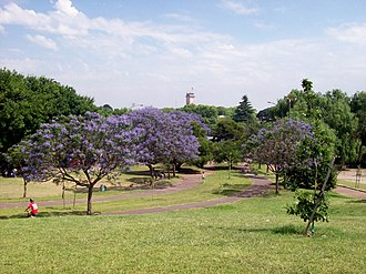 Mataderos - Jacarandas in bloom, Alberdi Park.